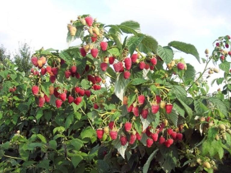 Ароматные сорта малины